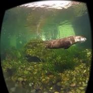 水族館の生き物たちを360度映像で収めたアプリ『アクアマリンふくしまVR』配信開始 カワウソやサンゴなど