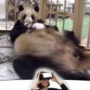 ジャイアントパンダの赤ちゃんが目の前に ジョリーグッドとアドベンチャーワールドが『Adventure World VR』配信