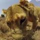 【PSVR】英Fountain Digital Labs、サバンナを体験する『ヴィリヴィアル』を国内で配信開始…アフリカで撮影した野生動物が目の前に