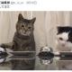 AMG GAMES、『猫侍』の公式アプリ『玉之丞のおでかけ』で「ねこナビ編集部コラボイベント」を開催 ぶるる編集長&べるる副編集長が登場